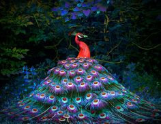 Red Peacock by Michael Richards on 500px. So beautiful!