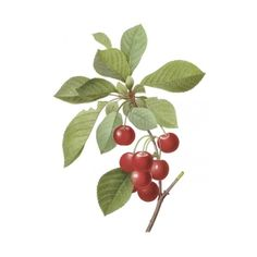 Flowers and Fruits Prints - Cherry - Cerasus Domestica 024 by Flowers... ($23) ❤ liked on Polyvore featuring home, home decor, wall art, flowers, fruit, frutta, inseto, fruit home decor, flower stem and flower wall art