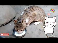 "Kam kara na ye Raja, Funny Cats Compilation [Most See] Funny Cat Videos, cat drinking milk & dance -  #animals #animal #pet #cat #cats #cute #pets #animales #tagsforlikes #catlover #funnycats  Learn how to speak cat! Click HERE for the cat bible! Watch this cute video, cat drinking milk Facebook- Twitter- Google+ – Instagram-  -~-~~-~~~-~~-~- Please watch: ""India Funny Ads, Comedy... - #Cats"