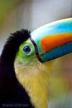 Close up of a beautiful keel bill toucans big blue eye by Joanne Weston