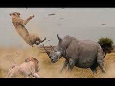 Potente Chifrada De Rinoceronte Vs Javali E Guepardo Wild Dogs, Predator, Giraffe, Horses, Youtube, Wild Boar, Baddies, Animals, Rhinos