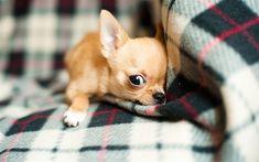 Descargar fondos de pantalla 4k, Chihuahua, mascotas, perro, animales divertidos, perros, Perro Chihuahua #chihuahua