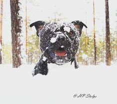 Staffordshire Bullterrier Photo HP Stolpe Instagram @hp_stolpe_photography and @Winnie_the_staffy #sbt #staffy #snowballshunter #Staffordshire