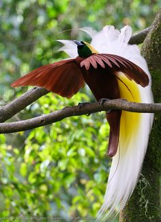 Bird of Paradise extravagantly complicated & intricate & irresistable displays & manuevers to entice a female! who could possibly resist his charms!!!