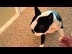 Teaching an Old Dog New Tricks - Manley is Motivated by Treats (Video) - Watch the Video here : http://www.bterrier.com/teaching-old-dog-new-tricks-manley-motivated-treats-video/ - https://www.facebook.com/bterrierdogs
