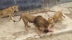Os dois leões foram mortos; ONGs protestam e pedem fechamento do zoológico