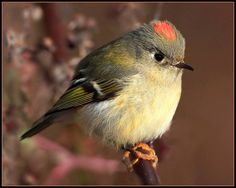 The Ruby-crowned Kinglet (Regulus calendula) is a very small passerine bird found throughout North America. It is a member of the kinglet family. The kinglet is migratory, and its range extends from northwest Canada and Alaska south to Mexico. Its breeding habitat is spruce-fir forests in the northern, mountainous, United States and Canada.