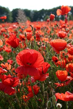 Poppies This made me smile at first sight! --Pia (Wild Poppies, Germany)This made me smile at first sight! Wild Poppies, Wild Flowers, Poppy Flowers, Field Of Poppies, Field Of Flowers, My Flower, Beautiful Flowers, Mother Nature, Planting Flowers