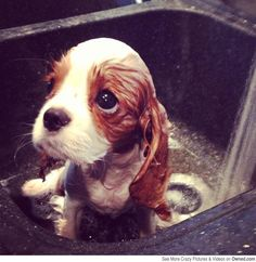 Please, not again. I is a Basset hound not a Labrador. I for sniffing not for swimming.