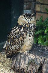 Beautiful :) Bengal Eagle Owl by Andrew Birkitt #owls #birds