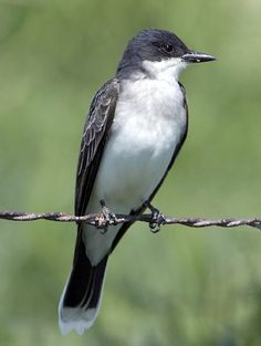 Eastern Kingbird -saw it at the sidehill. The tail fringe alerted me to something new.