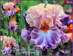 Photogentic Iris-World of Irises: BY REQUEST: COLLAGES--Making Visual Records of your Tall Bearded Irises