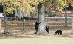 A Mother Bear With Her Two Cubs   Sevierville,  Tennessee