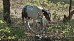 NATURE_horse_goat:animal odd couples a goat named Jack leads his blind horse friend Charlie around to graze and back home every day