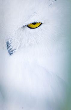 Yellow Eye.