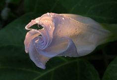 spirit of the moon flower