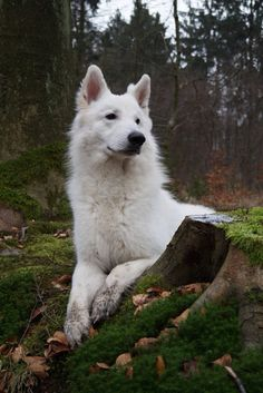 I just bought my first long hair white shepherd.owned other shepherds. White Shepherd, White German Shepherds, German Shepherd Pictures, German Shepherd Puppies, Beautiful Wolves, Beautiful Dogs, Pet Dogs, Dogs And Puppies, Pets