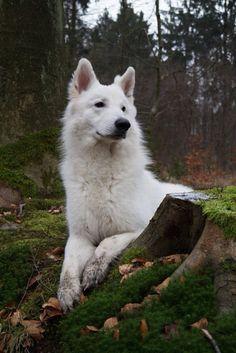 White Shepherd Weißer Schäferhund Hund Dog