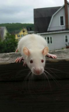 Rat. The energy. Thinks. Feels. No doubt about it.