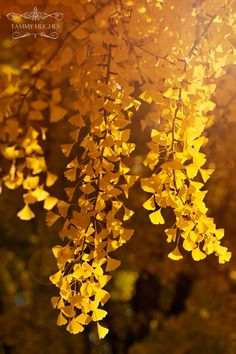 Autumn Golden Gingo Tree