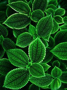 Green Leaves Macrophotography (HD Wallpaper)