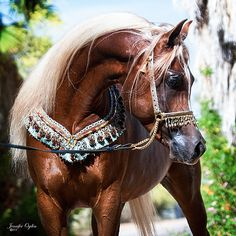 KA Damascus (Makhnificent KA x Rahimah KA) 2008 Chestnut Stallion Kehilan Arabians breeders of Straight Egyptian Arabian Horses