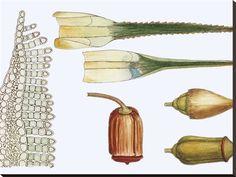 Polytrichum Formosum, Illustration Photographic Print