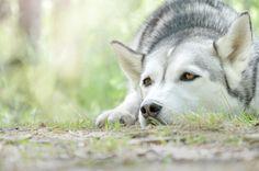 Lazy time @yummypets #husky