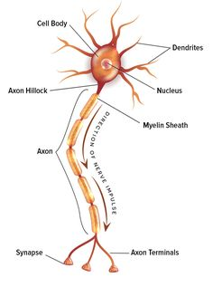 If there is space between every neuron in the human brain, how do they communicate? In order to fully understand, we must first know the Neuron Doctrine. Brain Anatomy And Function, Human Brain Anatomy, Basic Anatomy And Physiology, Biology Lessons, Science Biology, Teaching Biology, Cell Biology Notes, Nervous System Anatomy, Brain Facts