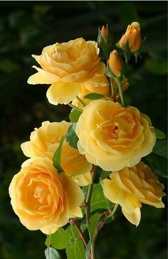 yellow roses are one my favorite flower...they make you feel happy with their smiling color