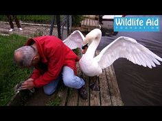 A Guy Fought Off A Swan To Save Its Offspring And He's The  Hero We Deserve