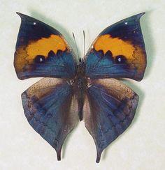 ~Purple Orange Oak Leaf Butterfly (Kallima inachus)~ #bluebutterflies