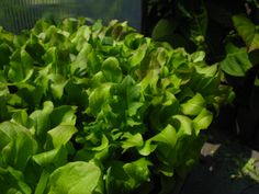 Eten uit de tuin #ediblegarden #sla #lettuce