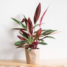 Tricolor Stromanthe Easy-to-Grow Live Prayer Plant, Pot, Indoor/Outdoor Air Purifier! Best Indoor Plants, Cool Plants, Calathea Plant, Chinese Money Plant, Prayer Plant, Fast Growing Plants, Growing Orchids, Low Light Plants, Indoor Trees Low Light