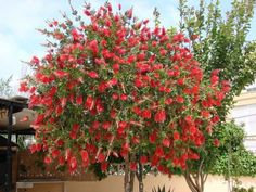 Callistemon citrinus ( Bottle brush tree) - idea for along driveway Evergreen Trees, Trees And Shrubs, Flowering Trees, Blooming Trees, Landscaping Plants, Garden Plants, Garden Trees, Tree With Red Flowers, Valley Nursery
