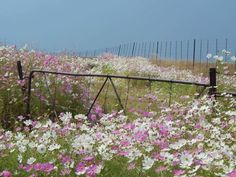 Cosmos growing wild in South African veld. Landscape Pictures, Landscape Art, Landscape Paintings, Cosmos Flowers, Wild Flowers, Art Flowers, Cottage Art, Africa Art, Amazing Nature