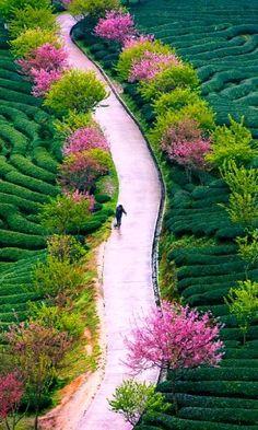 Tea farm ~ Fujian province, China