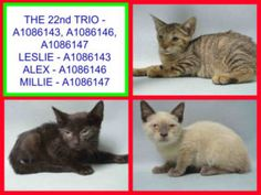 **TO BE DESTROYED 08/23/16** LOVELY KITTEN TRIO NEEDS YOU TONIGHT!! Leslie, Alex, and Millie are precious nine week old kittens who have found themselves in grave danger tonight. What these babies need is a cozy home where they can feel safe and loved and get a little extra TLC for their goopy eyes. Despite starting to treat them, ACC will kill them tomorrow. Don't let that happen! Contact a rescue group and step up for these babies before it is too late!