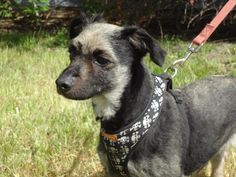 Meet Ryder, a Petfinder adoptable Terrier Dog | Massena, NY | Ryder was brought in as a stray.  He was found in the woods near the Horton Rd in Massena.  The...