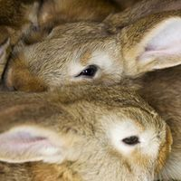 If you have rabbits, you have manure to manage. Whether for pets or meat, rabbits produce a lot of manure for their size. An adult rabbit will create about 50 lbs. of manure per year. Rabbit manure is nutrient-rich, especially in nitrogen, and is a dry pellet that is safe to put directly into gardens or feed to worms. Raising rabbits and worms can...