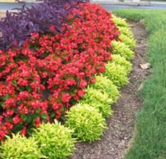 Purple Heart, Begonia, Alternanthera 'Sommelier™ Chardonnay' Joseph's Coat (Lime Green Edge grass) would look great lining the tree Outdoor Plants, Outdoor Gardens, Landscape Design, Garden Design, Front Flower Beds, Flower Bed Borders, Front Yard Landscaping, Landscaping Ideas, Outdoor Landscaping