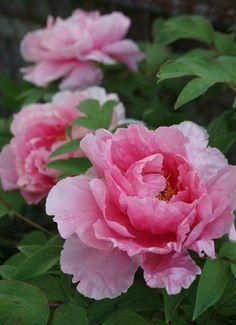 Amazing Flowers, Pink Flowers, Beautiful Flowers, Peony Flower, Flower Art, Peony Painting, Peonies Garden, Botanical Flowers, Spring Blooms
