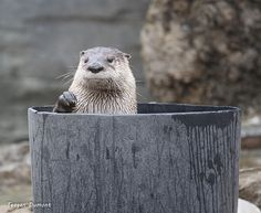That Moment When Otter Realizes He's About to Miss Treat Time — The Daily Otter - - Amazing Animals, Animals Beautiful, Baby Puppies, Dogs And Puppies, Significant Otter, Baby Animals, Cute Animals, Otter Love, Exotic Pets