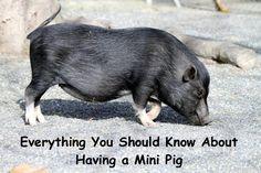 Everything you should know about having a mini pig. #pets #minipig #pig Miniature Pigs, Mini Pig, Pet Pigs, Wild Boar, Pet Care, Adoption, Wildlife, Pets, Big