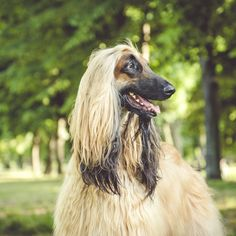 Their long, silky fur and intelligent expressions give these dogs their unique look.