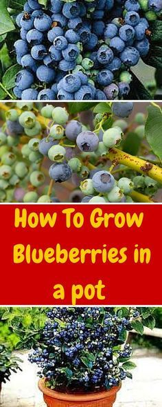 How To Grow Blueberries In A Pot — Info You Should Know