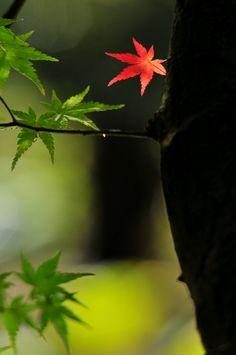 紅一葉 Red one leaf