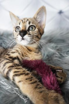 Beautiful F2 Savannah kitten with a beautiful black nose Savannah Cat Breeders, Savannah Kittens For Sale, Savannah Chat, Serval Kittens For Sale, Kitten For Sale, Las Vegas, Luxury, Cats, Animals