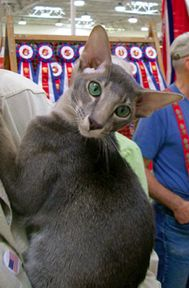 Oyate Oriental Shorthairs Gallery  oh my goodness they are BEAUTIFUL