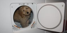 Bella Kai the Goldendoodle does laundry!